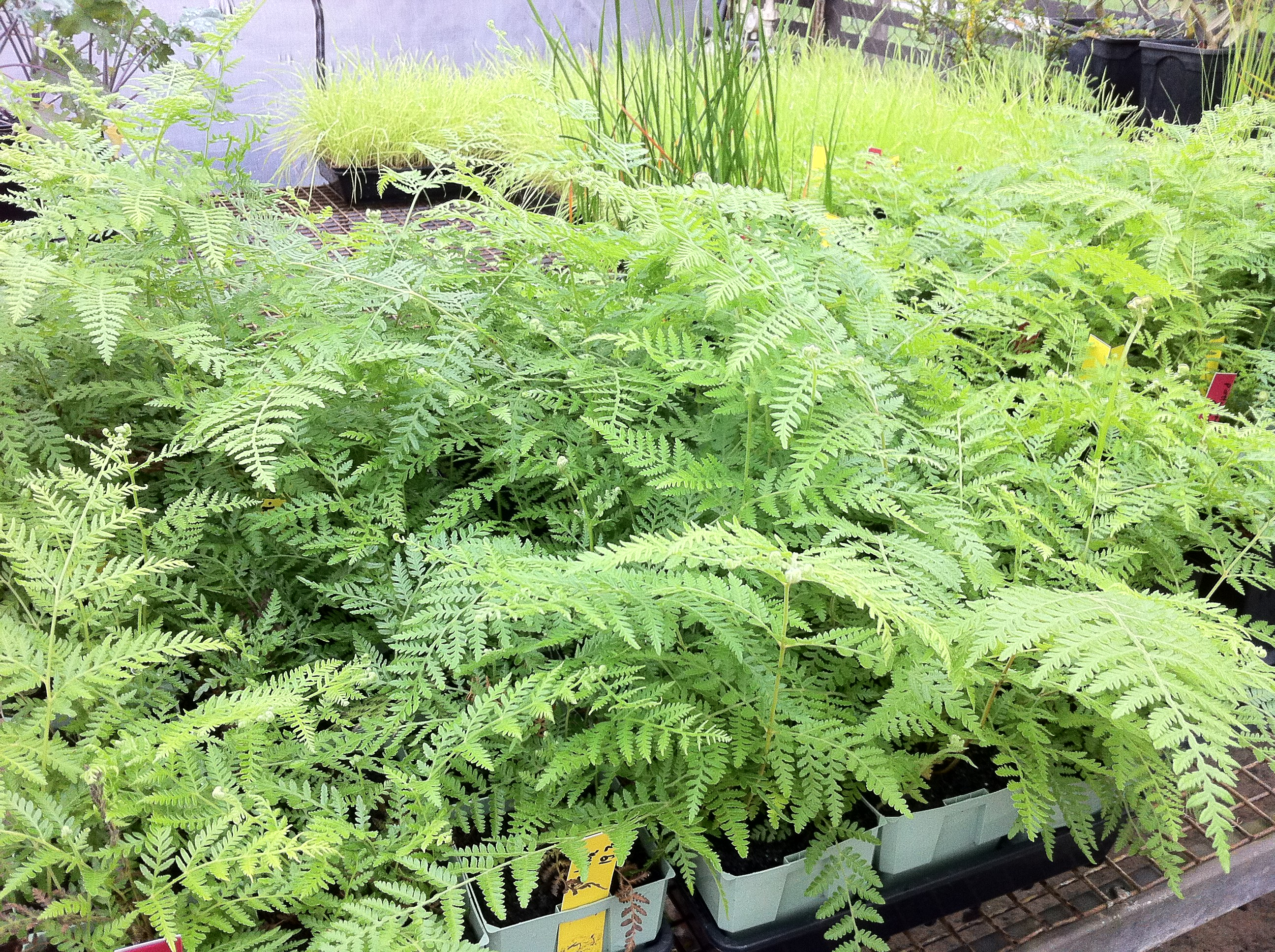Bracken From Tissue Culture Plant Tissue Culture Specialists